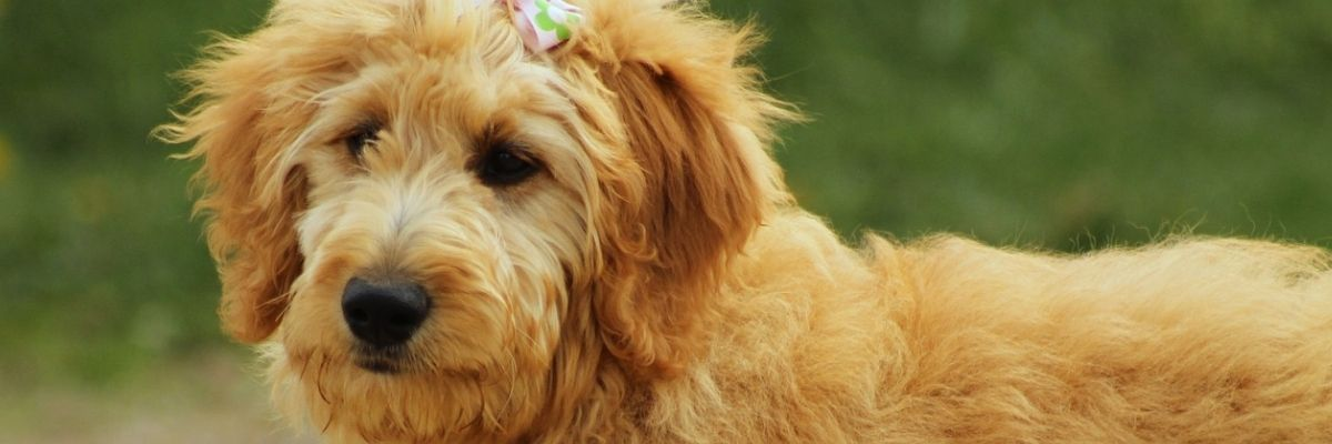 How do I take care of the fur of the Goldendoodle