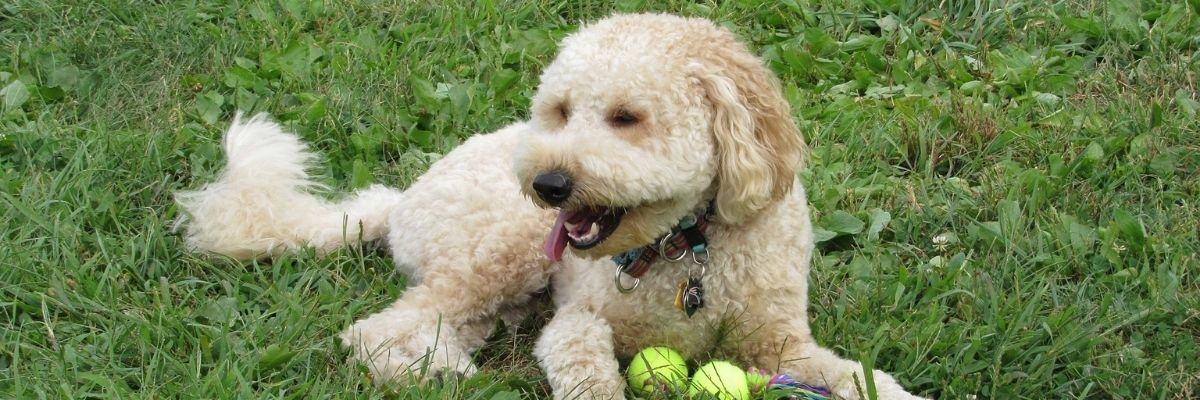 Disadvantages to look for when getting a Goldendoodle