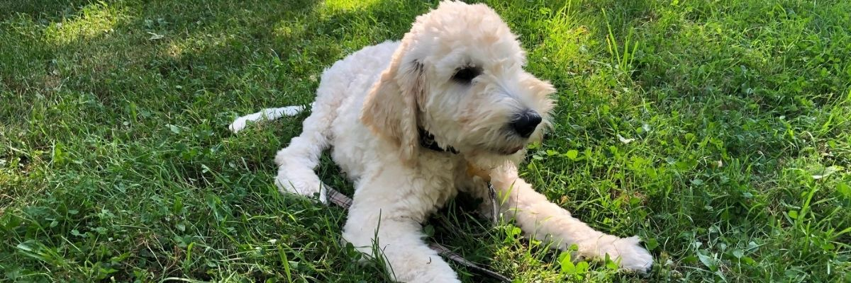 Facts About Goldendoodle