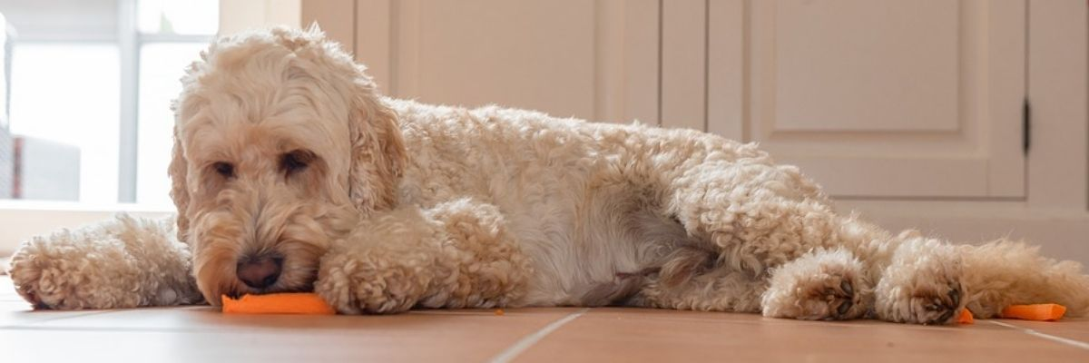 How is the Personality of a Goldendoodle