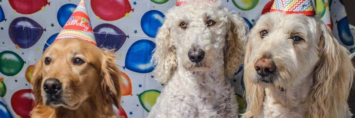 how do you take care of the ears of a goldendoodle