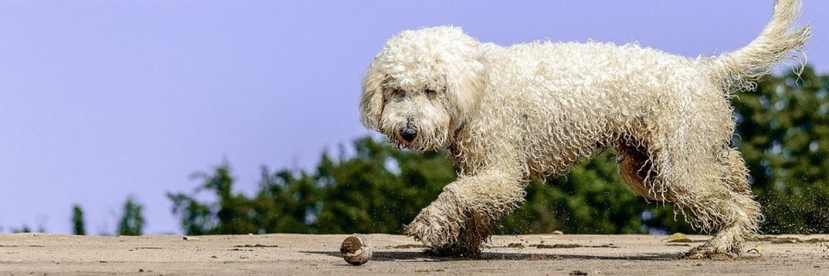 How much does a goldendoodle cost