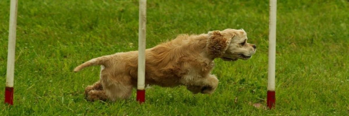 What Exercise Equipment Do I Need for the Goldendoodle?